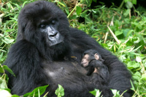 gorilla-with-baby