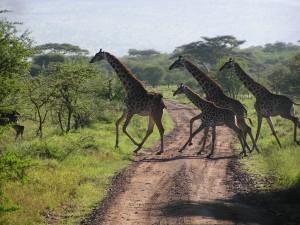 girafee on the waypc